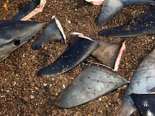 thresher-shark-fins_407_600x450.jpg (600×450)