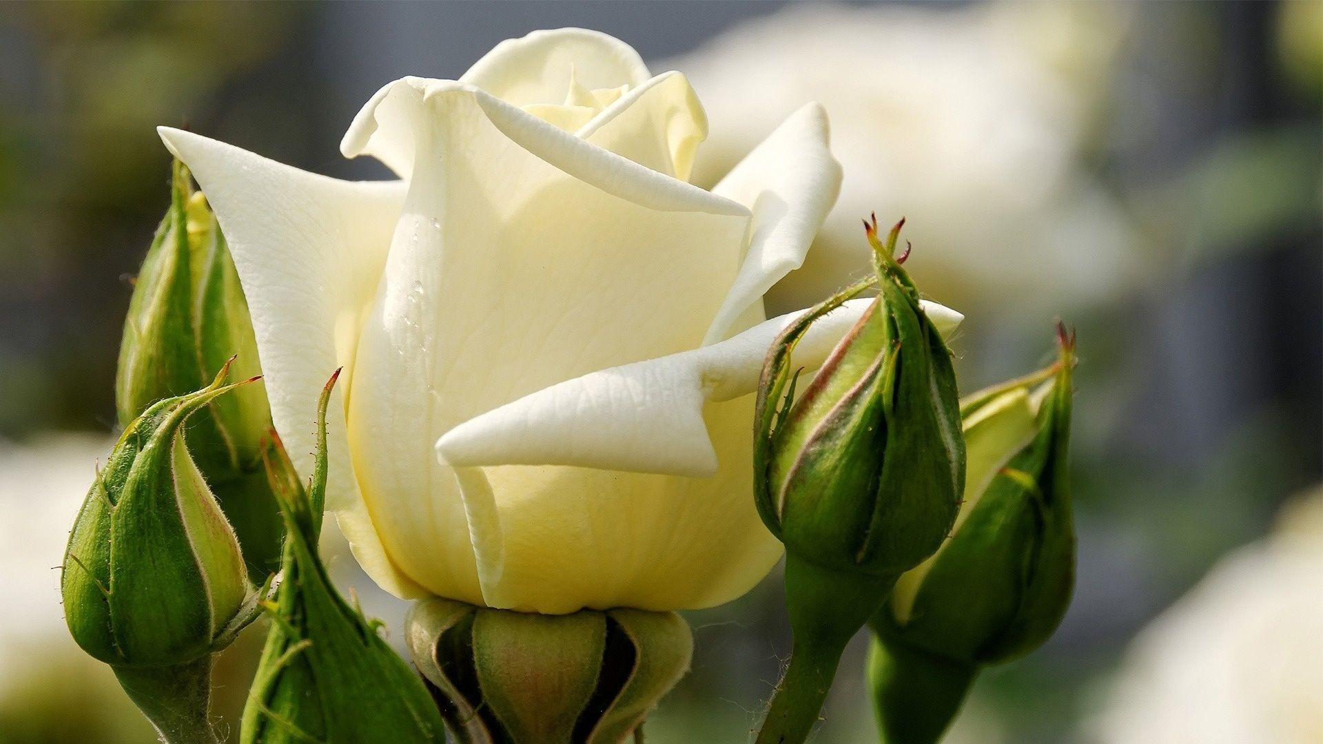 White Rose Google Search White Rose Flower White Roses Flowers