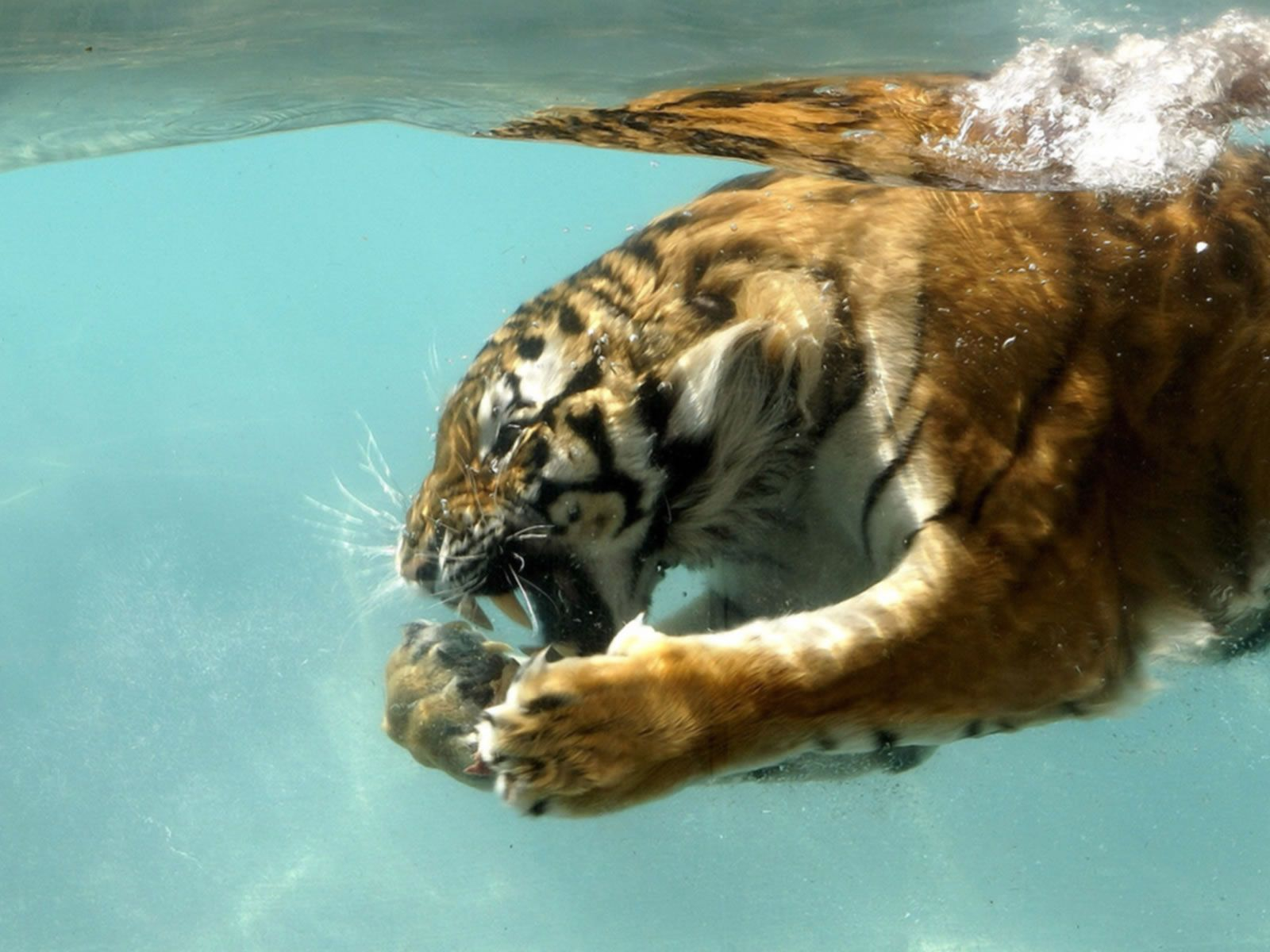 tigers pictures in the wild hunting | wildlife sanctuaries and