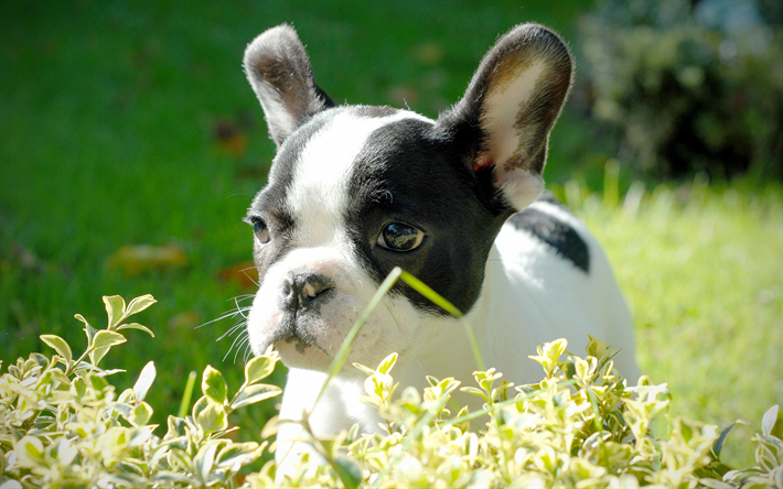 Download wallpapers 4k, french bulldog, closeup, pets