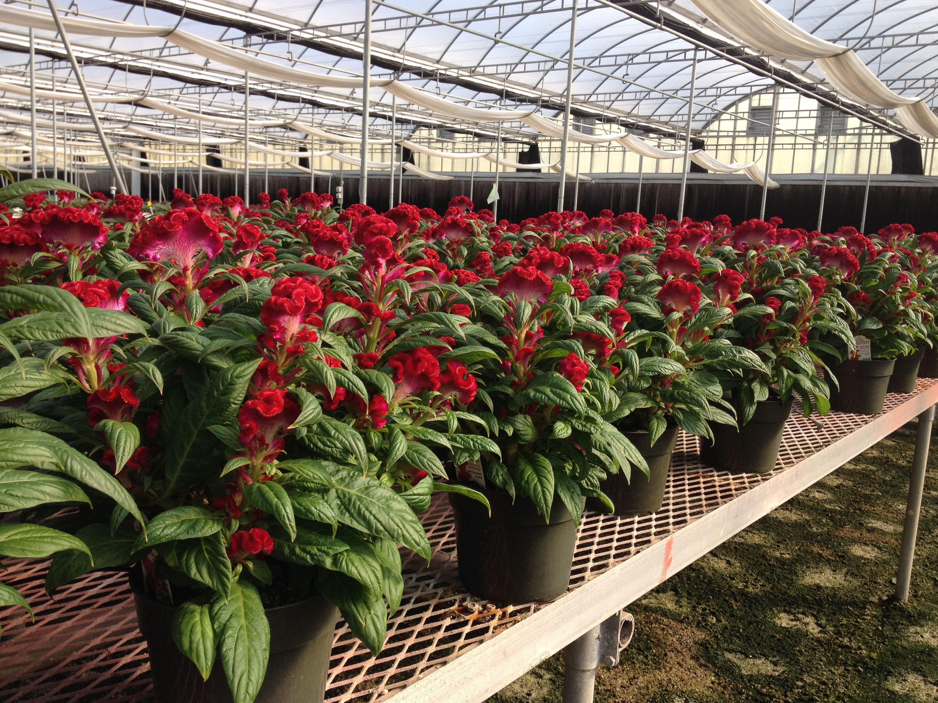 6.0 Celosia - Hot Topic Pink | Celosia @ White\'s Nursery | Pinterest ...