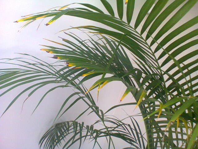 Bamboo Palm Leaf Tips Turning Yellow Brown House Plants Forum Gardenweb Plant Leaves Turning Brown Palm House Plants Plant Leaves Turning