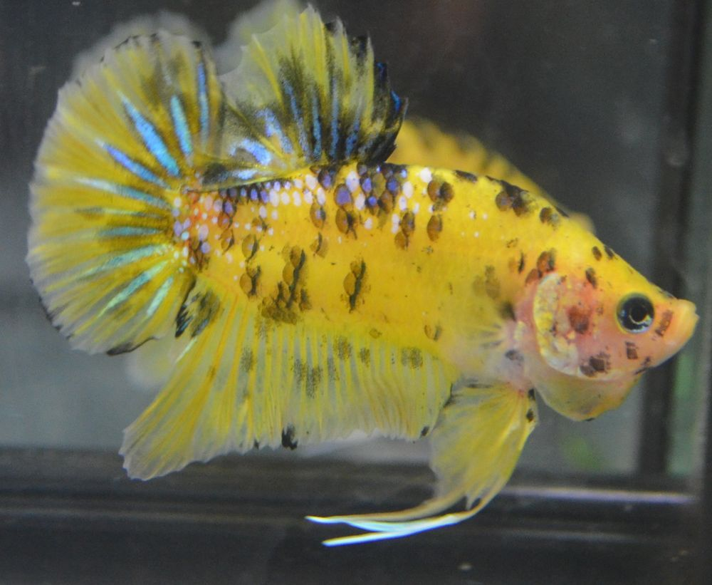 Black and yellow freshwater aquarium fish - Live Betta Fish Awesome Yellow Black Koi Halfmoon Plakat Male Breeder Stock