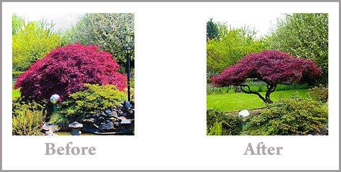 Pruning Your Japanese Maple Pruning Japanese Maples Japanese