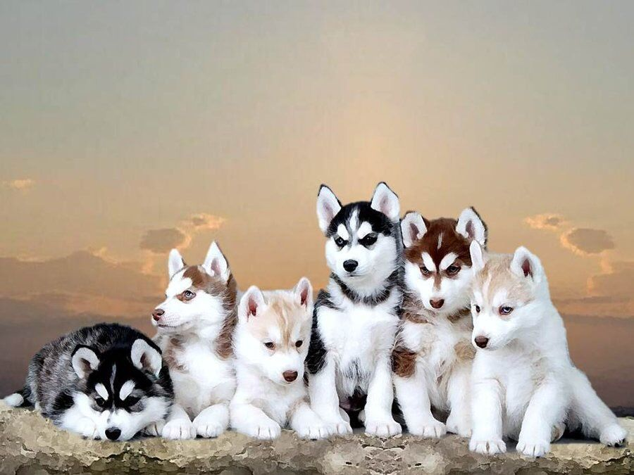 Siberianhusky Siberians Cute Husky Puppies Husky Puppy