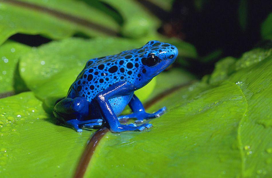 Blue Poison Dart Frog Dendrobates Azureus Blue Poison Dart