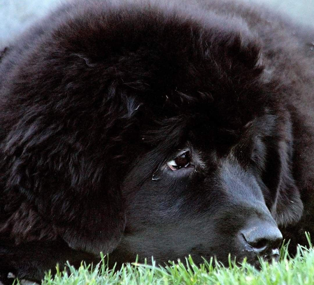 Pin By Stephen Sayad On My Newfies In 2020 Newfoundland Dog Big