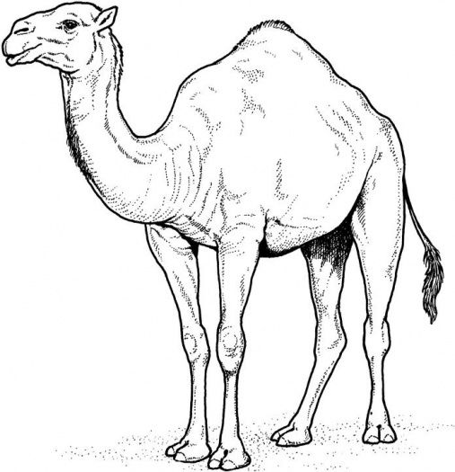 Camels Coloring Pages Super Coloring Tattoos Desert Animals
