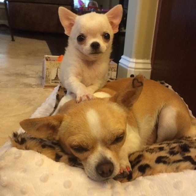 Mommy Wake Up Cute Baby Animals Chihuahua Puppies Cute
