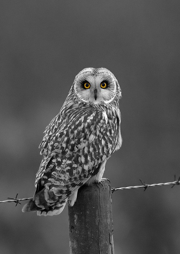 short eared owl | Flickr - Photo Sharing!