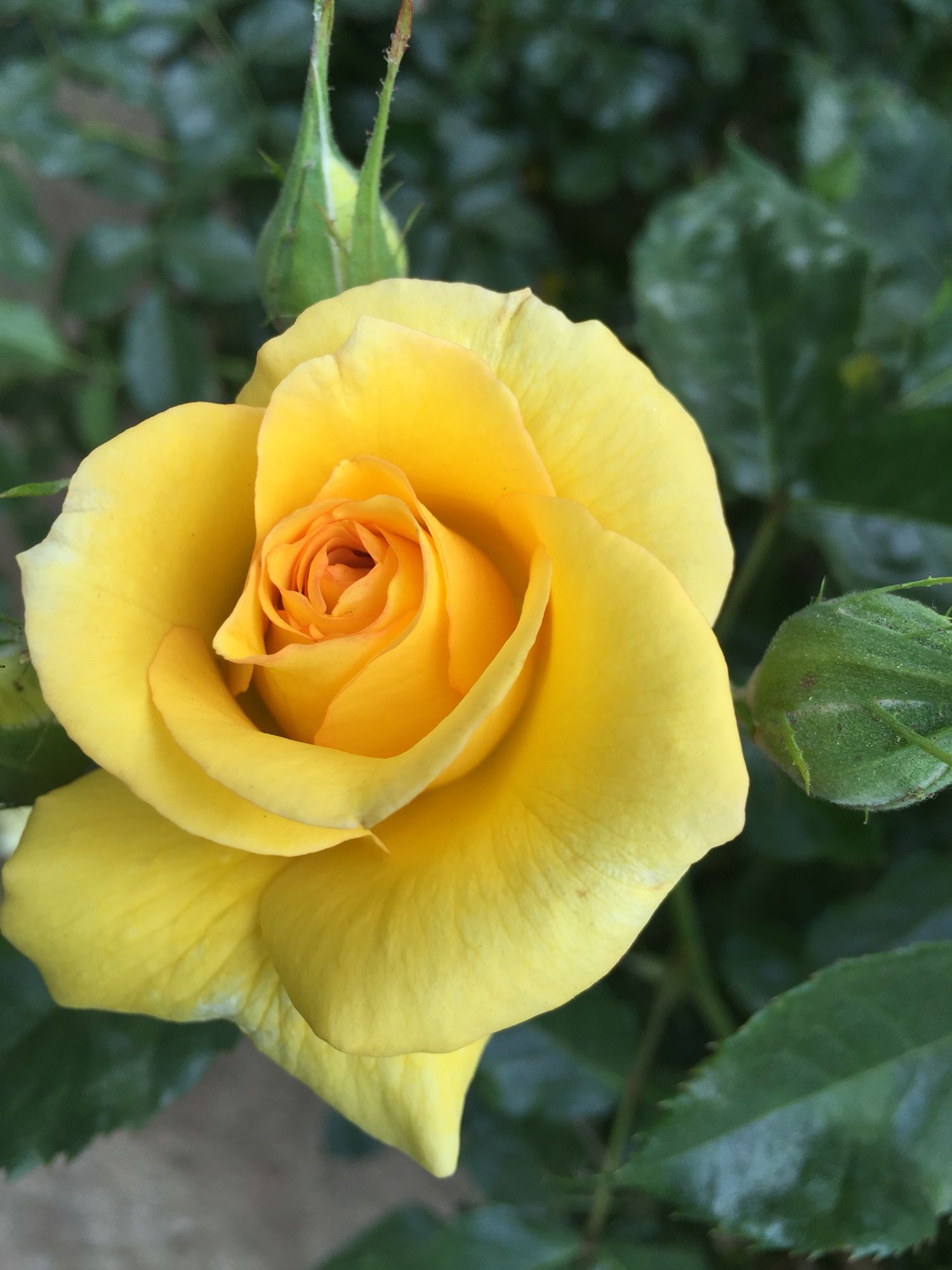 Soft Yellow Pinterest Flowers Pretty Flowers And