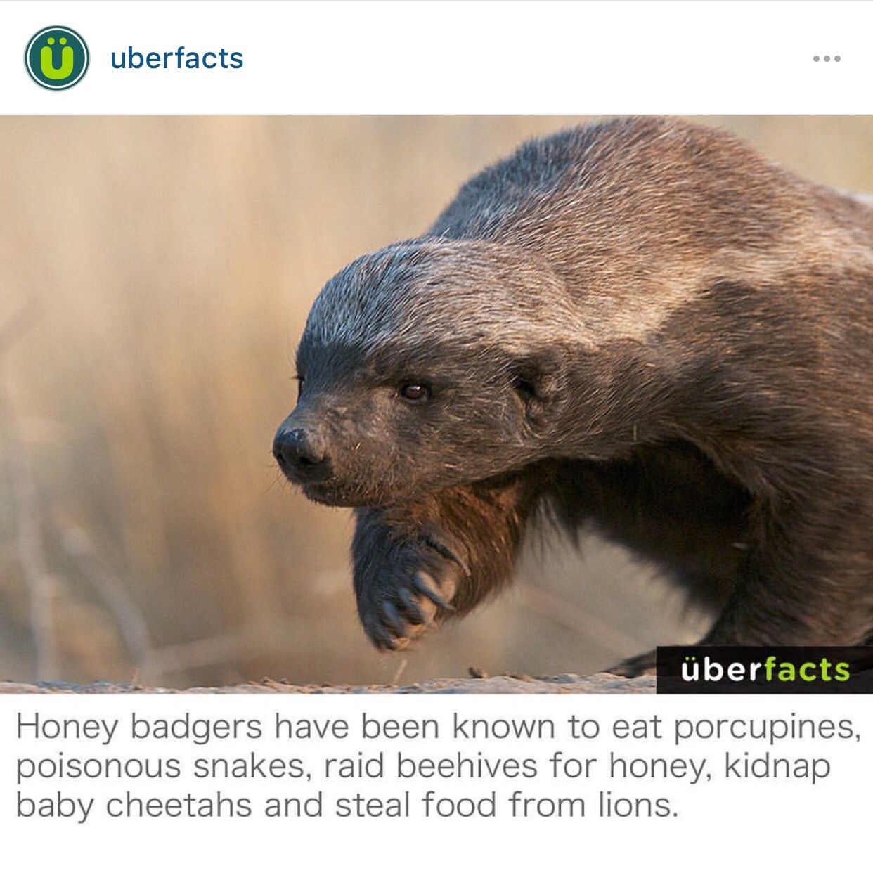 10+ What is the hufflepuff animal ideas