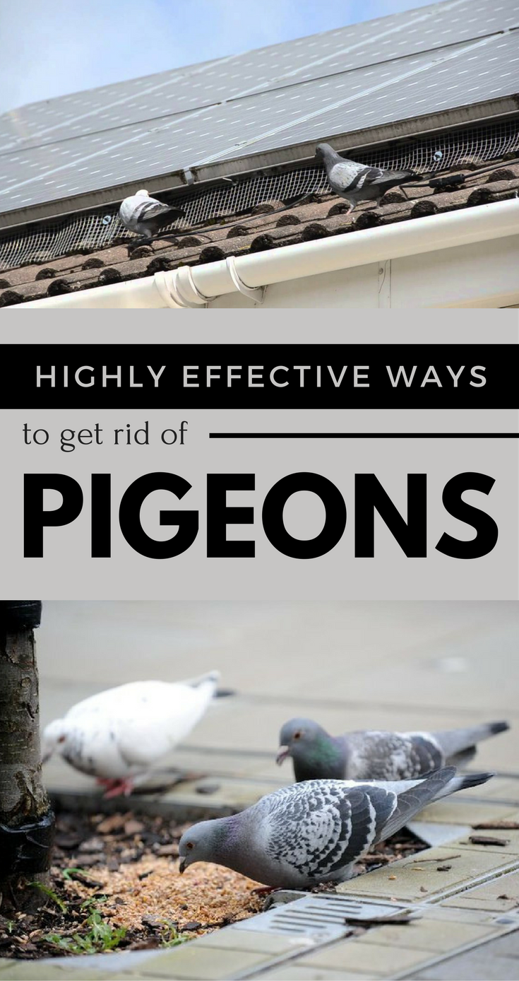 Highly Effective Ways to Get Rid of Pigeons