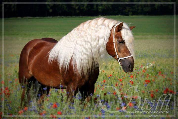 Gorgeous Horse Hengst Pferde Fuchs
