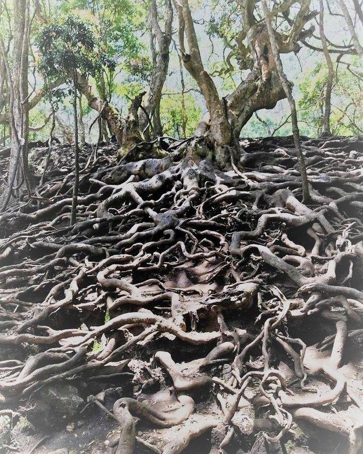 @globetrotmom posted to Instagram: Dense roots covering the forest floor in Guna caves, Kodaikanal  #kodaikanal #naturetrails #gunacaves #tamilnadu #tamilnadutourism #treeroots #naturalphenomenon #tbt #throwbackthursday #theglobetrotmom