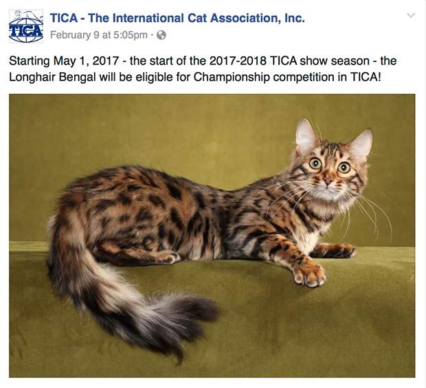 083a1a3ce5 Longhair Bengal eligible for Championship competition in TICA