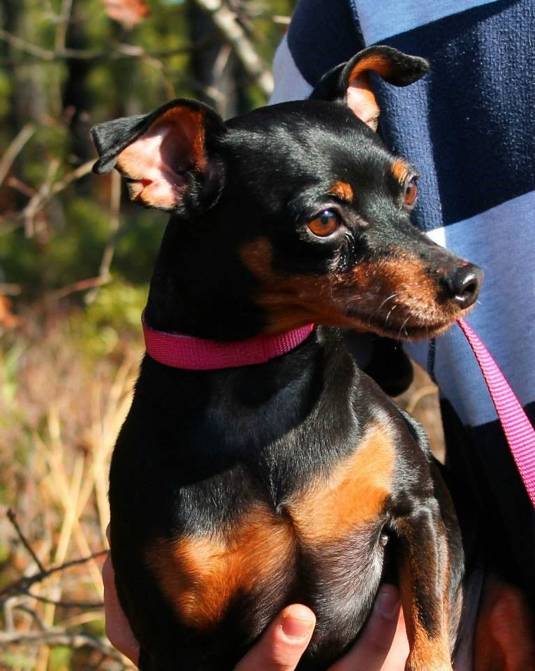 Adopt Buddy On Mini Pinscher Puppies Kitties Cute Puppy Pictures
