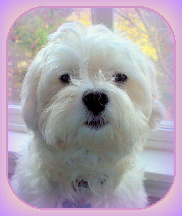 Bo Diddley My Bichon Westie Bichon Westies Cute Puppies