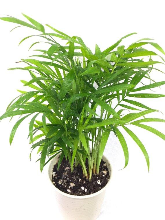 Baby Golden Cane Palm Areca Air Purifying Plant Easycare Live Houseplant Housewarming Birt