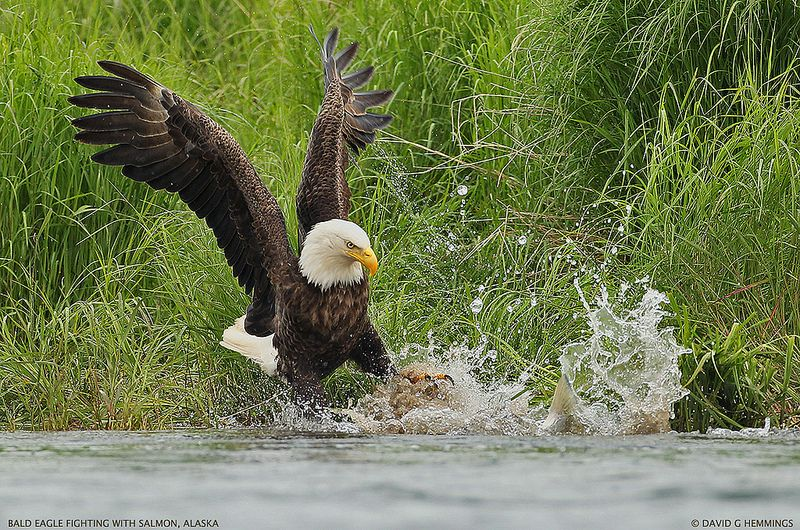 The Eagle and Salmon