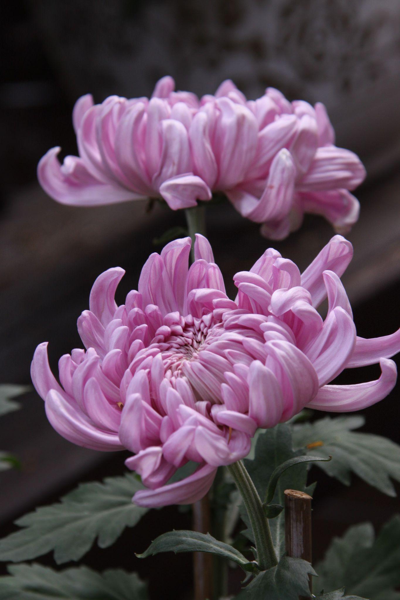 IMG_8611 Flowers nature, Chrysanthemum, Beautiful flowers