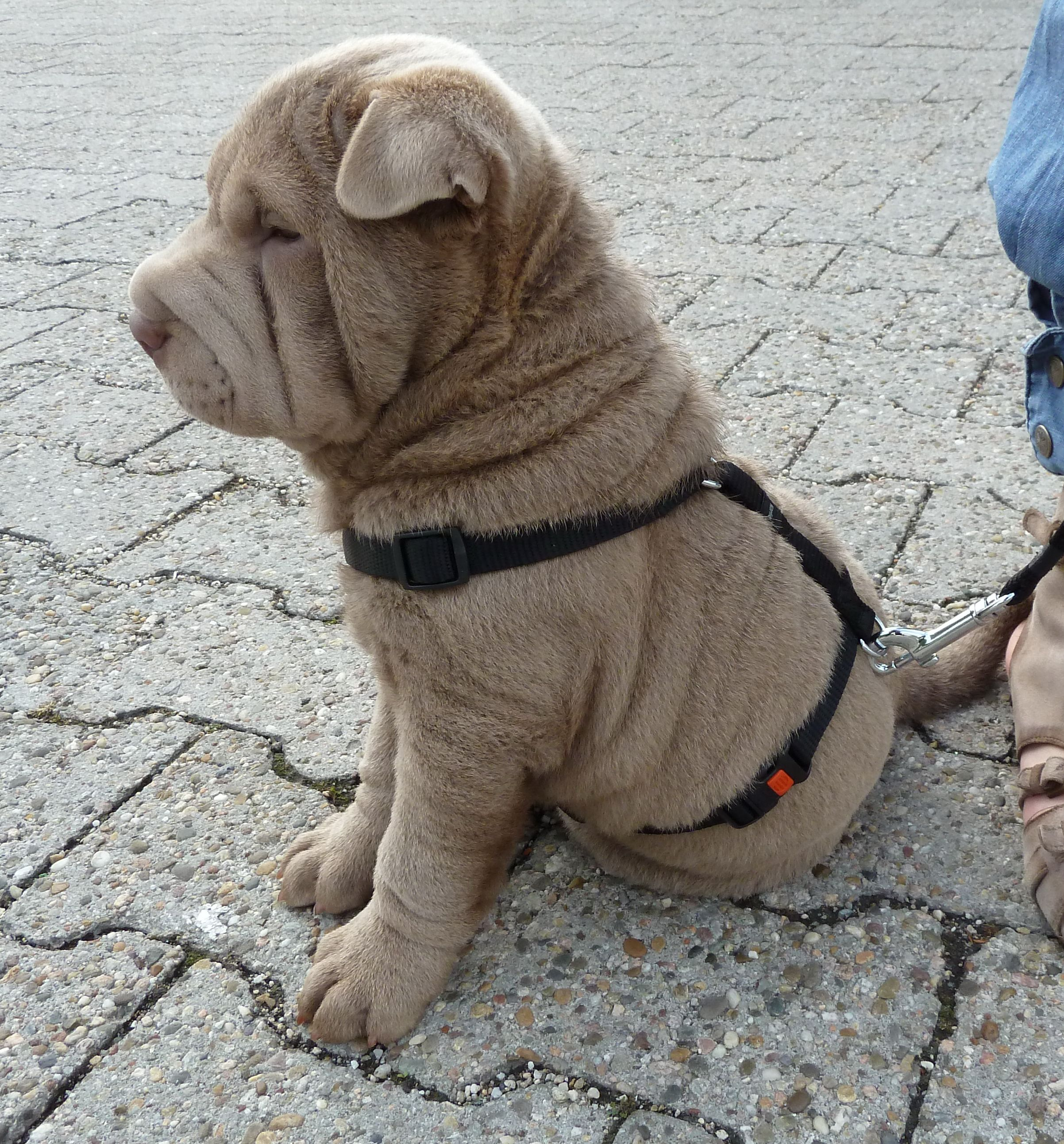 Shar Pei Chico Cute Animals Shar Pei Dog Dog Friends