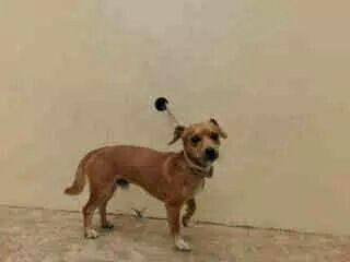5 Year Old Boy Prada Is Safe Chihuahua Loveable Animal Abuse