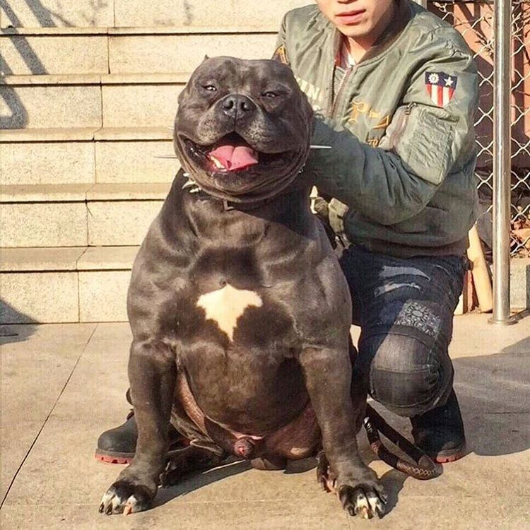 6 742 Likes 215 Comments American Bully Americanbully On Instagram Kimbo 66bullycamp Americanbully Bullybr Bully Breeds Dogs Dog Pounds Bully Dog