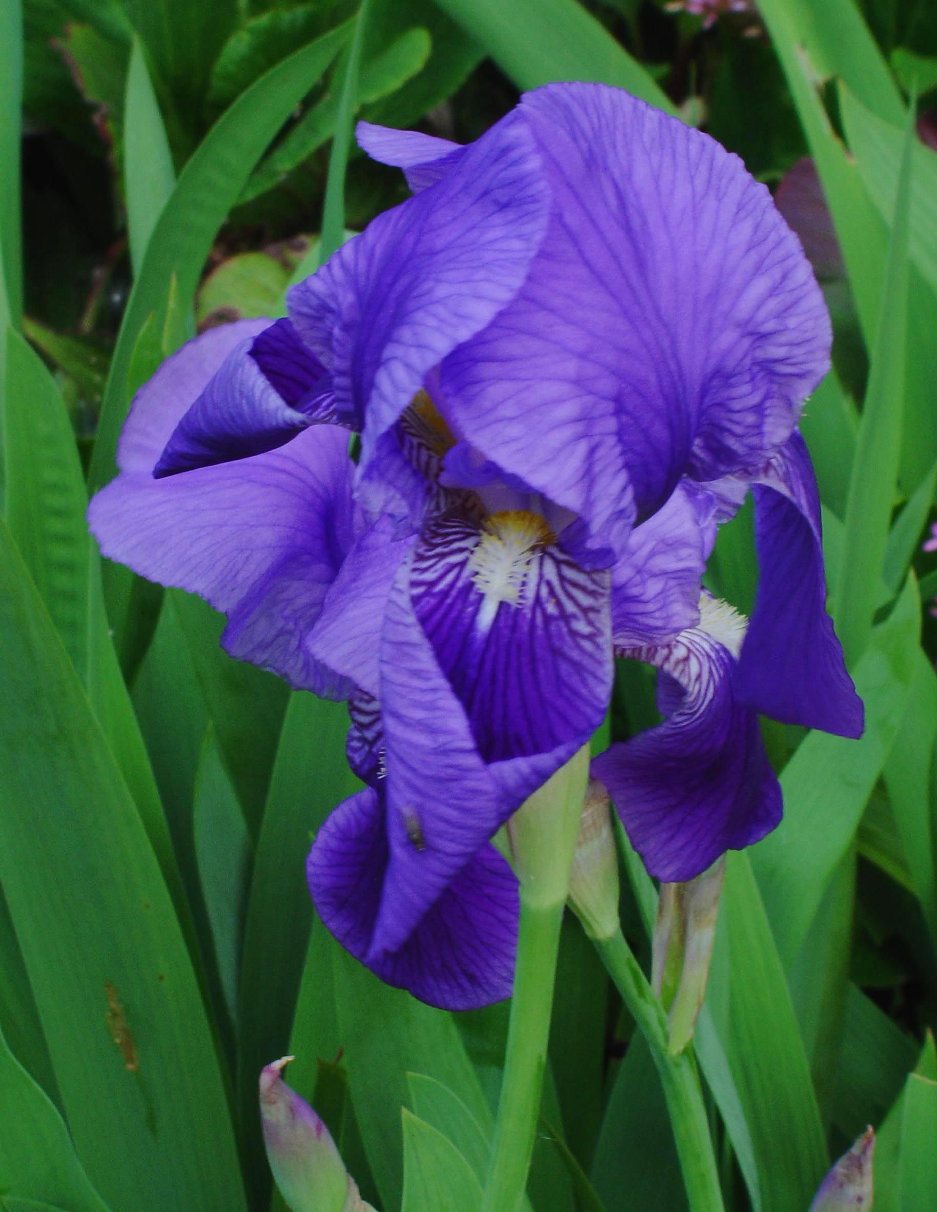 Iris croatica hrvatska perunika croatia flowers world national iris croatica hrvatska perunika croatia iris flowers blue flowers hibiscus croatia izmirmasajfo
