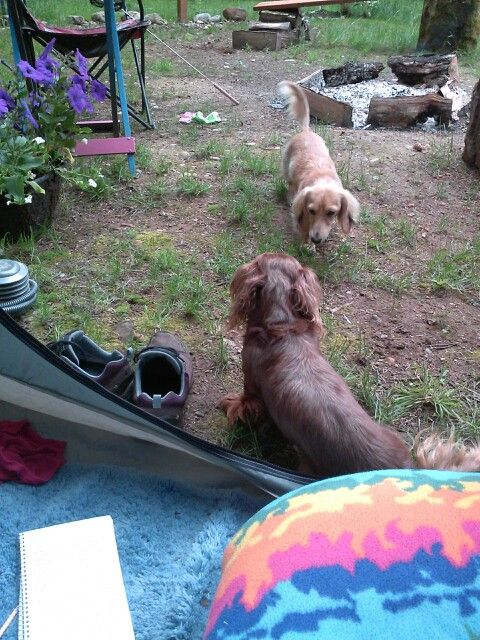 Camping with dachshunds
