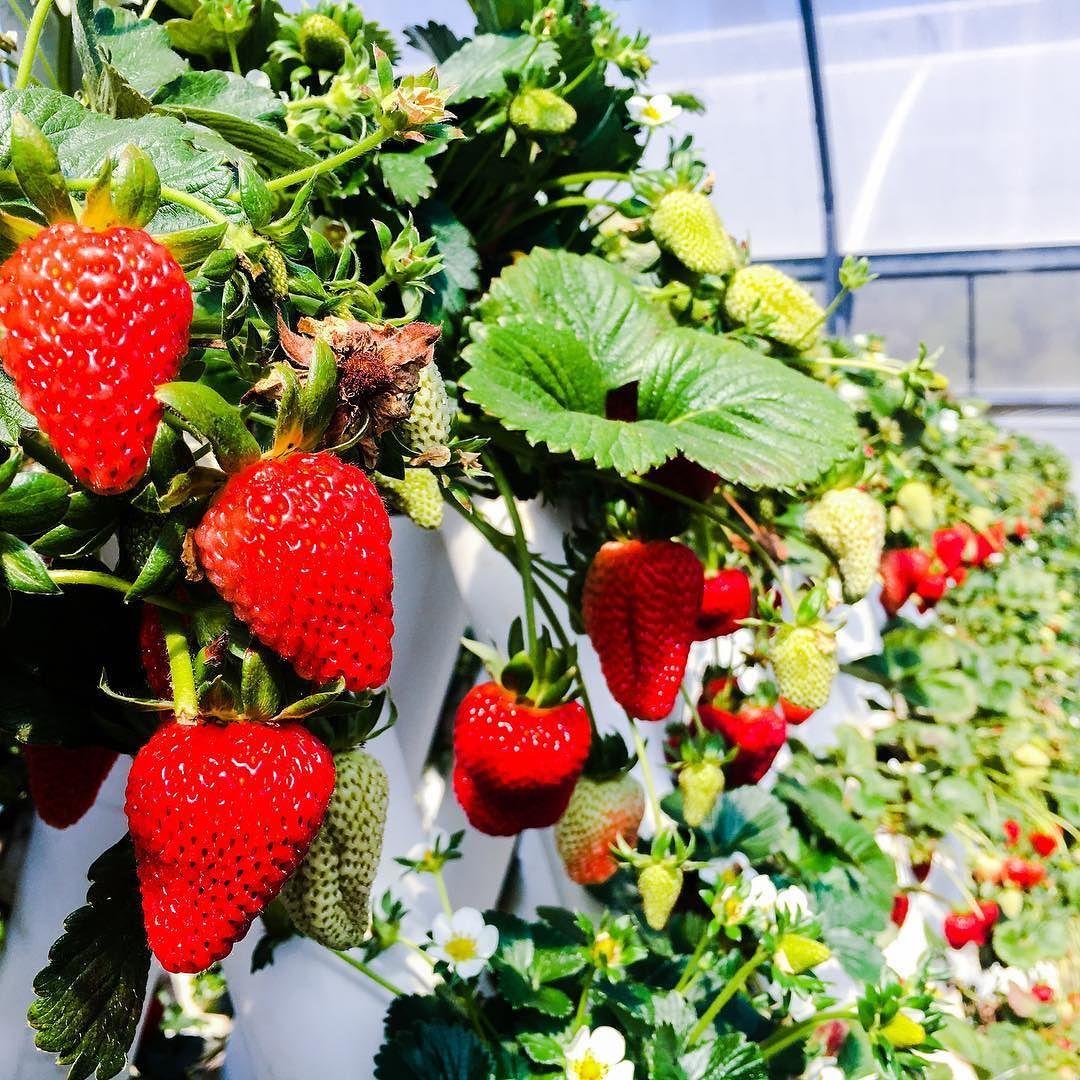 Kusashoes Fruit Picking Strawberry Instagram Posts
