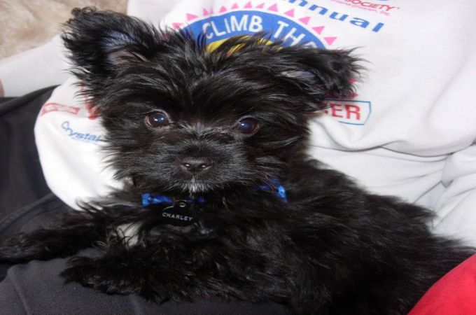 Black Yorkie Puppy Cute Yorkies Terrier Daily Pinterest Yorkie