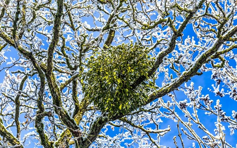 Mistletoe: How to Grow Your Own | Christmas plants, Garden, Christmas time is here
