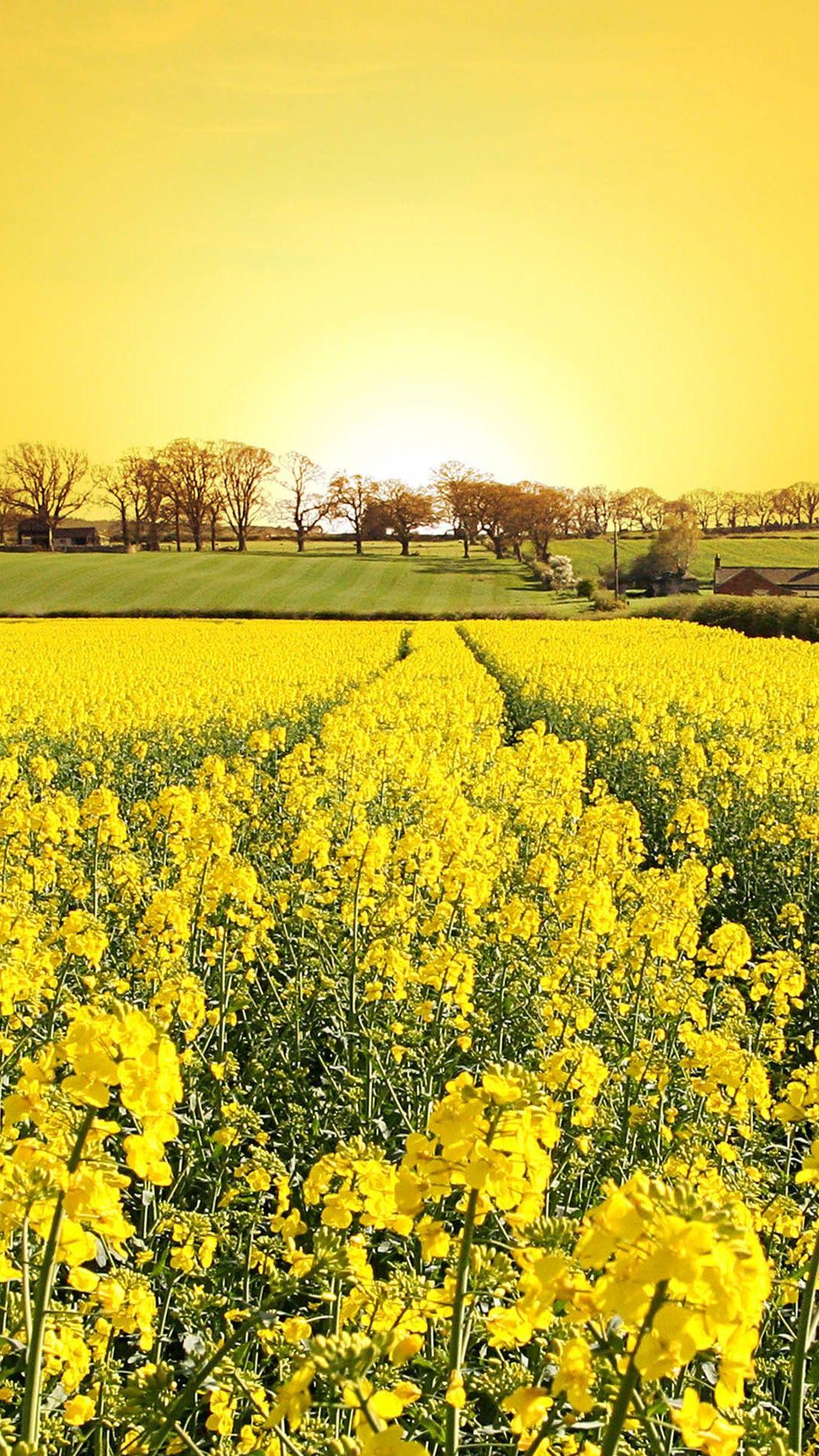 Golden Canola Flowers iPhone 8 Wallpapers Yellow fields