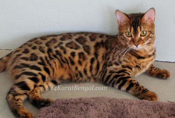 4karat Bengal Kitten Kashamii Owned By Don Ladonna Phoenix