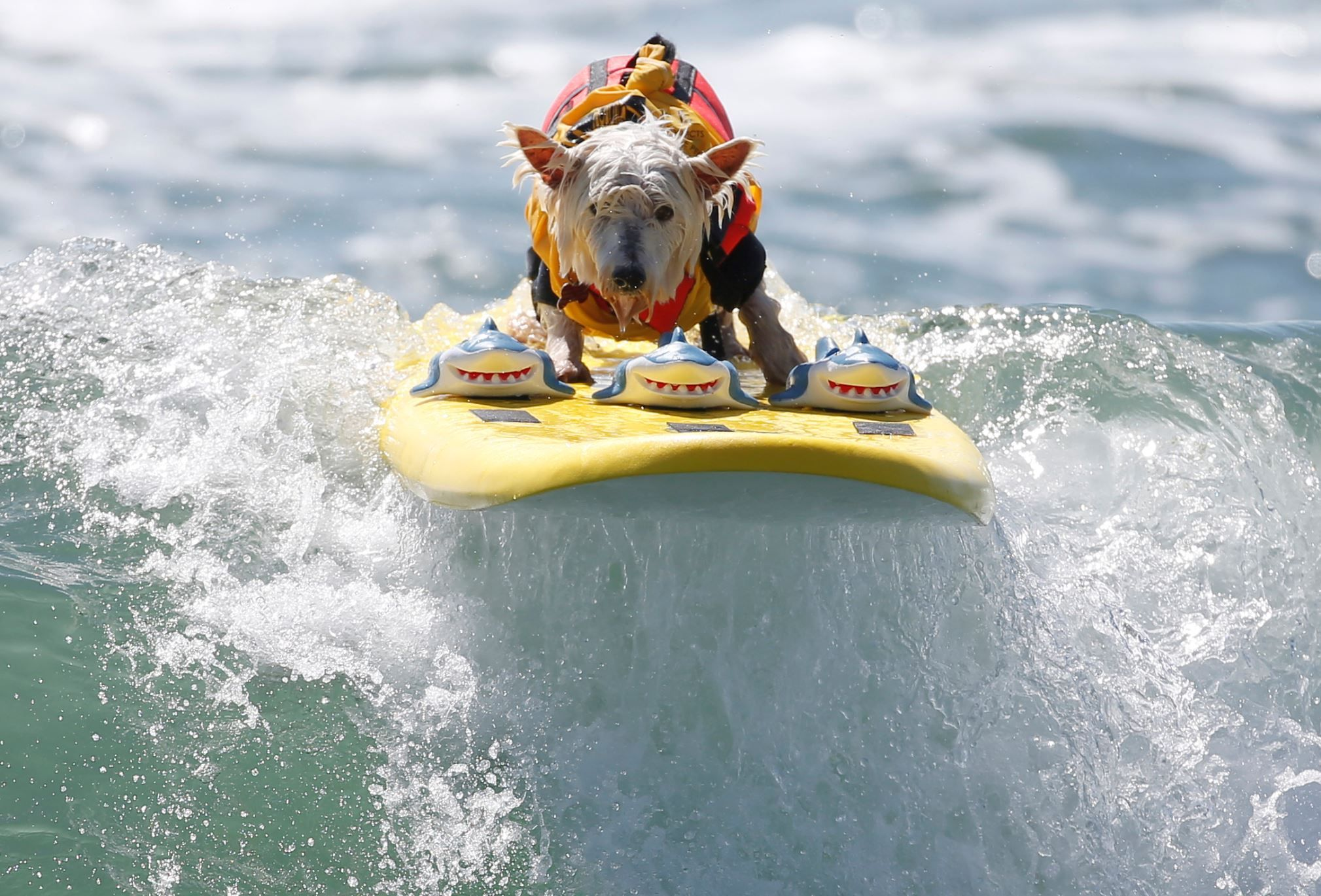 Surfer Dog Abbie Girl rides a wave in the division during the