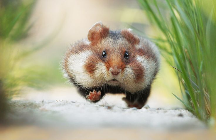 All About Syrian Teddy Bear Hamster Cute Hamsters Animals Beautiful Wild Hamsters
