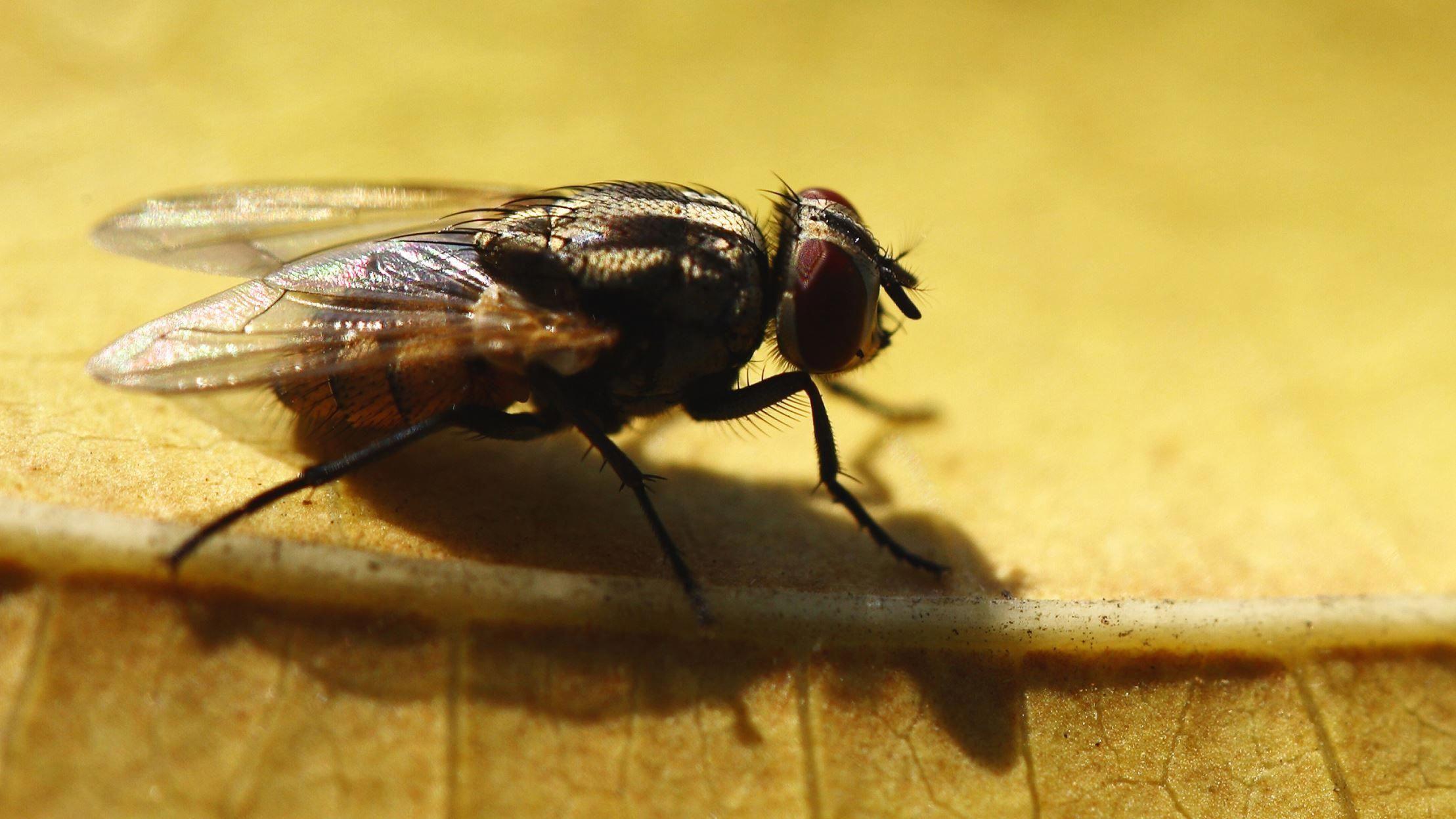 how to get rid of cluster flies uk