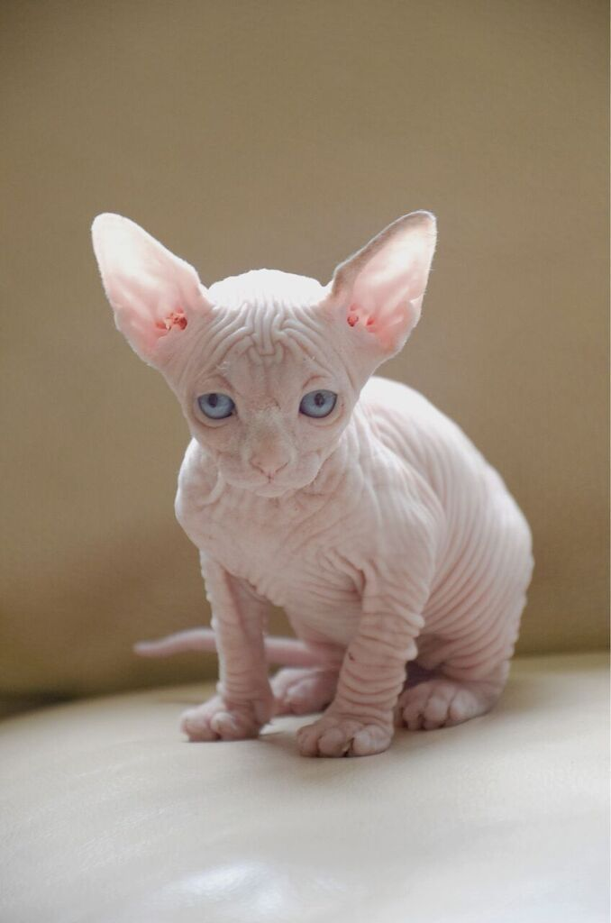 SPHINX CAT - Yahoo! Yahoo Image Search Results   Sphinx ...