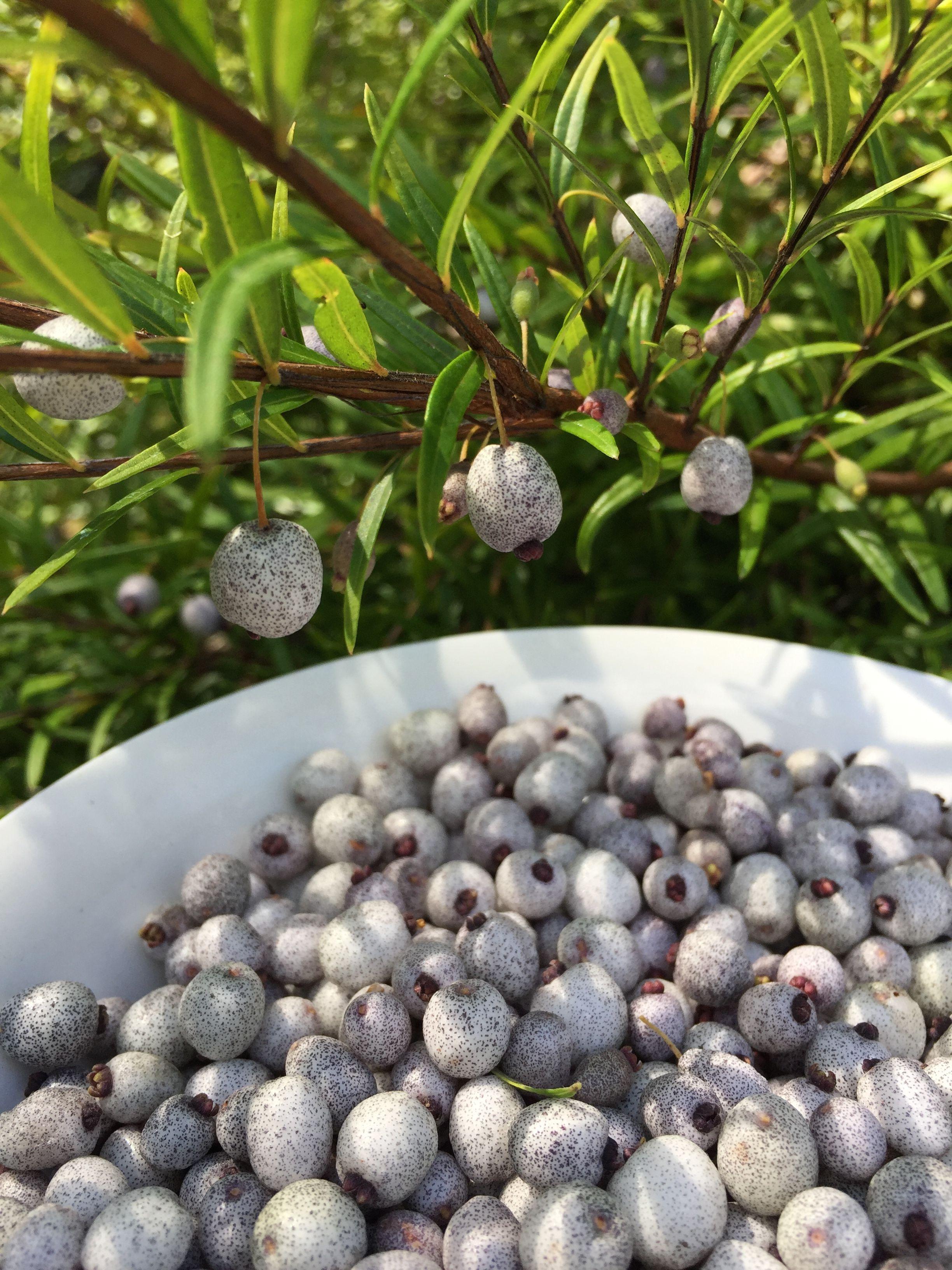 Austromyrtus Dulcis Midyim Berry A Bush Tucker Plant That Produces Masses Of Pea Sized Fruit That Can Be Eat Australian Plants Berry Plants Australian Garden