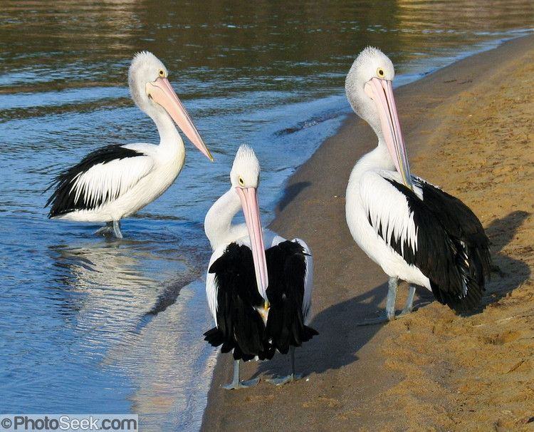 Three Australian Pelicans walk in line on Coalmine Beach, Walpole-Nornalup National Park, in the southern end of Western Australia. The Australian Pelican is widespread on the inland and coastal waters of Australia and New Guinea.