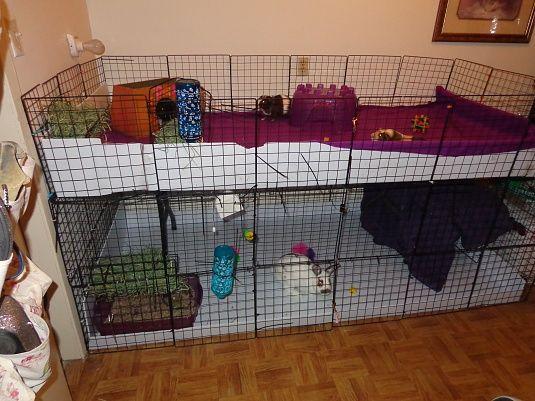 rabbit and guinea pig setup | Guinea Pig Mania