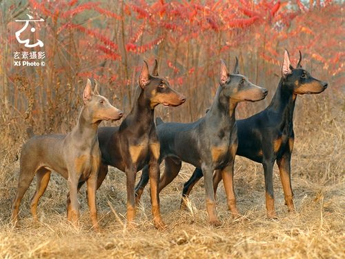 Dsc 0333 Doberman Colors Doberman Doberman Pinscher Blue