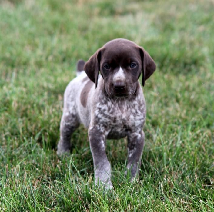 Akc German Shorthaired Pointer Pups Craigspets German