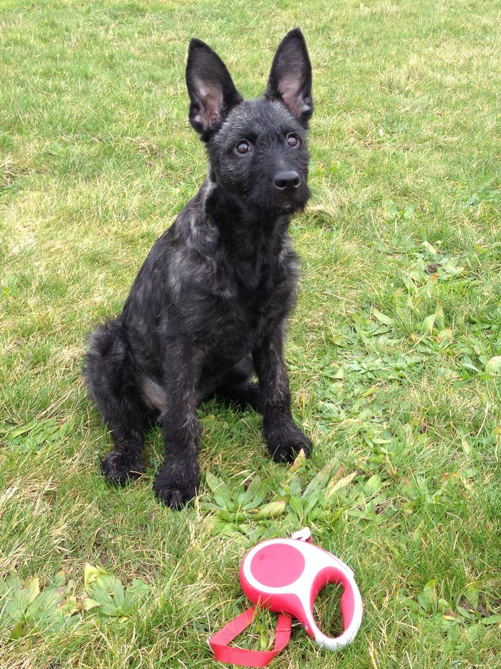 Dutch Shepherd Rough Haired 3 Months Old Kira Van Brabandstad Guard Dogs Dogs Shepherd