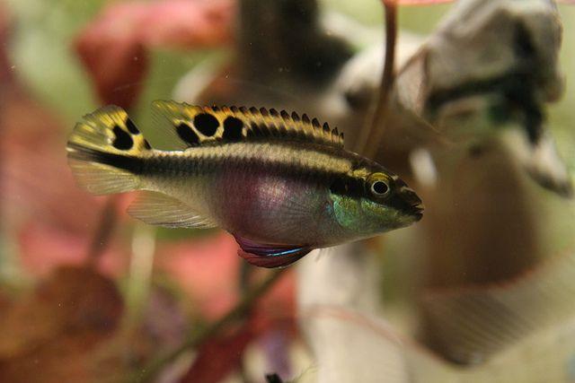 Common Krib Rainbow Krib Rainbow Cichlid Pelvicachromis Pulcher Krebensis Female Fish Pet Pets Animals