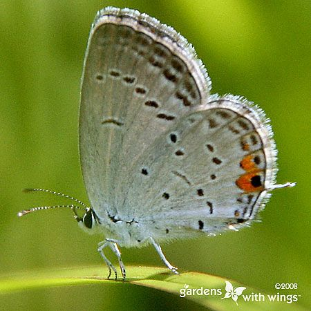 Eastern Tailed-Blue Butterfly (Everes comyntas Female type 2