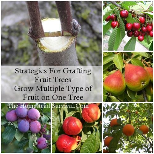 Strategies For Grafting Fruit Trees Grow Multiple Type Of Fruit On One Tree The Homestead Survival Grafting Fruit Trees Grafting Plants Fruit Trees