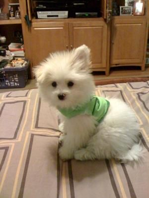 Maltipom Puppy Puppies Chihuahua Mix Puppies Designer Dogs