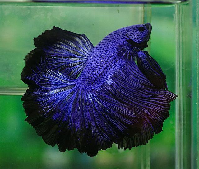 Royal blue giant fancy bettas pinterest royal blue for Black betta fish for sale